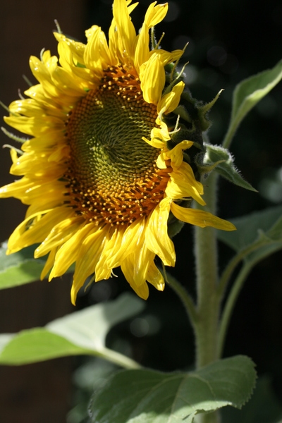 Sunflowers_mar_07007